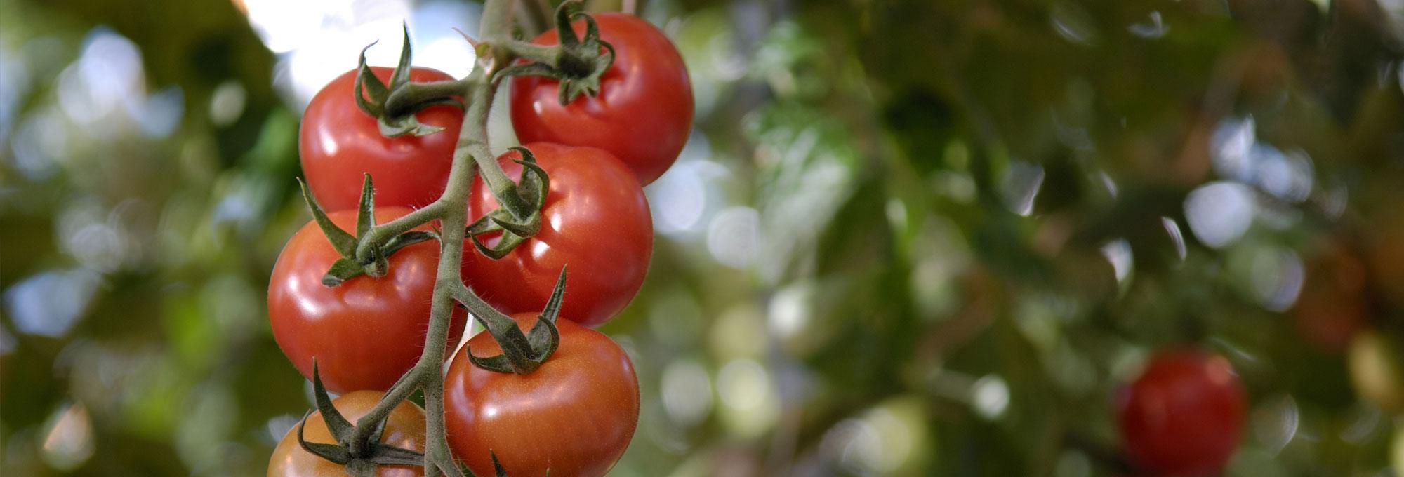 header-tomaat